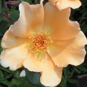 Mrs Oakley Fisher - Tea/Hybrid Tea Rose