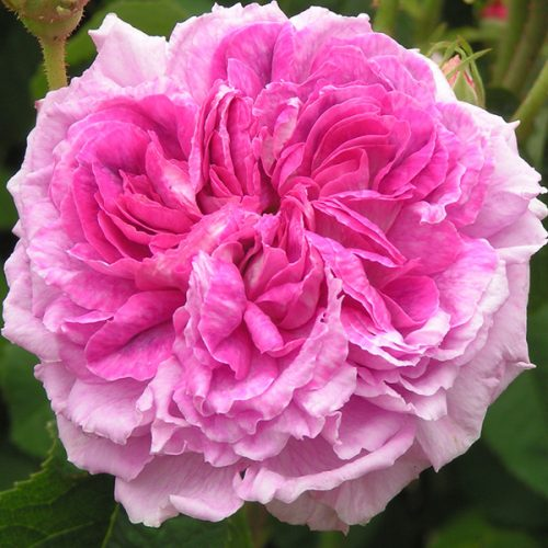Nestor - Pink Gallica Rose