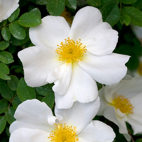 Nevada - White Shrub Rose