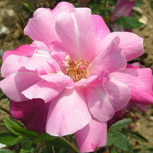 Old Blush - Pink China Rose