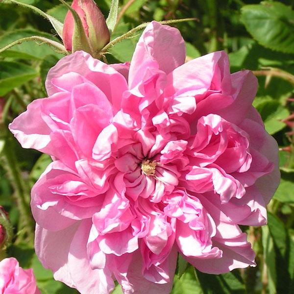 Omar Khayyam - Pink Damask Rose
