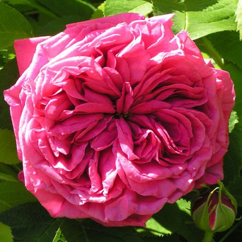 Paul Ricault - Hybrid Perpetual Rose