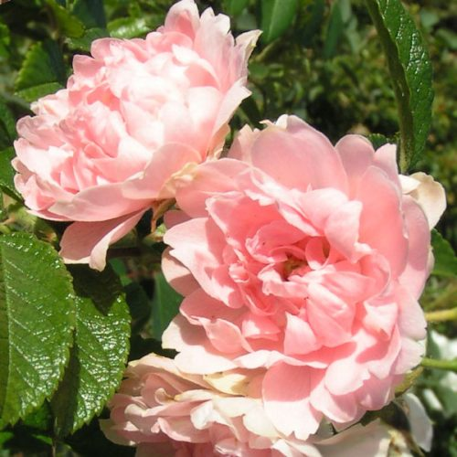 Peach Grootendorst -Rugosa Rose