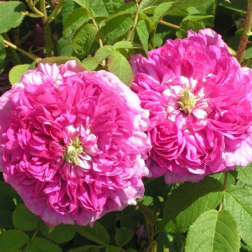Pergolese - Damask Rose
