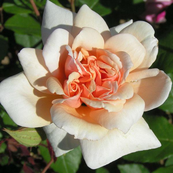 Perle d'Or - China Rose