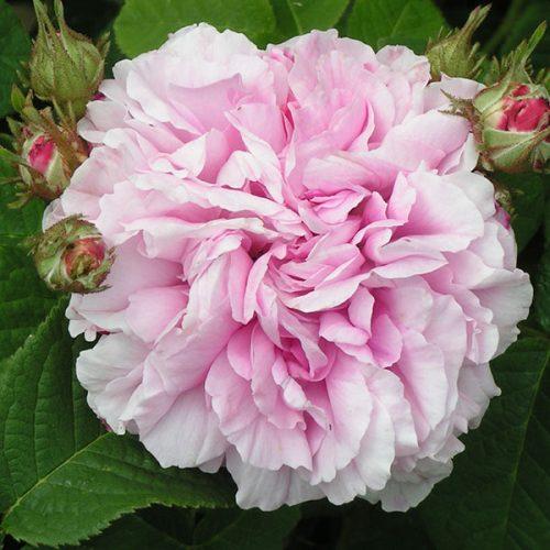 Pink Leda - Damask Rose