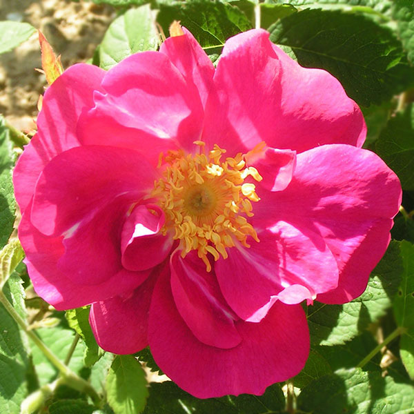 Portland Rose - Damask Rose