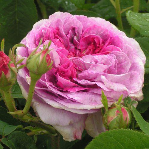 President de Seze - Pink Gallica Rose