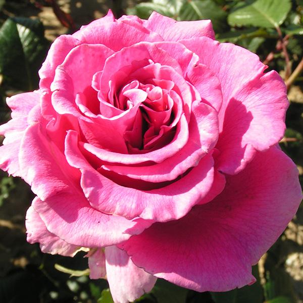 Princess Alexandra - Pink Renaissance Rose