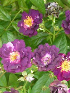 Violette - Rambling Rose