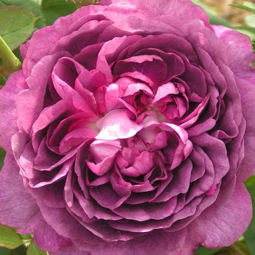Reine des Violettes - Purple Hybrid Perpetual Rose