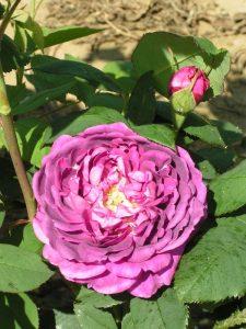 Reine des Violette - Hybrid Perpetual Rose