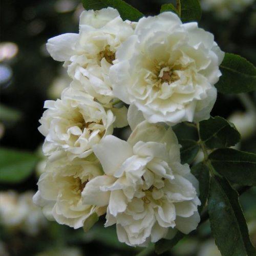 Banksiae Alba, a white rambling rose.