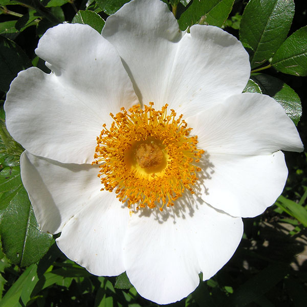 Rosa bracteata - White Species Rose