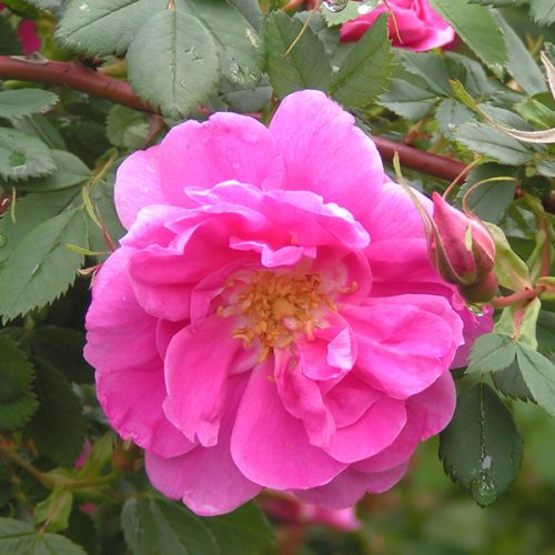 Rosa Califonica Plena - Pink Species Rose