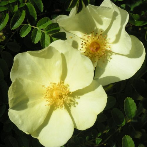 Rosa Cantabridgiensis - Yellow Species Rose