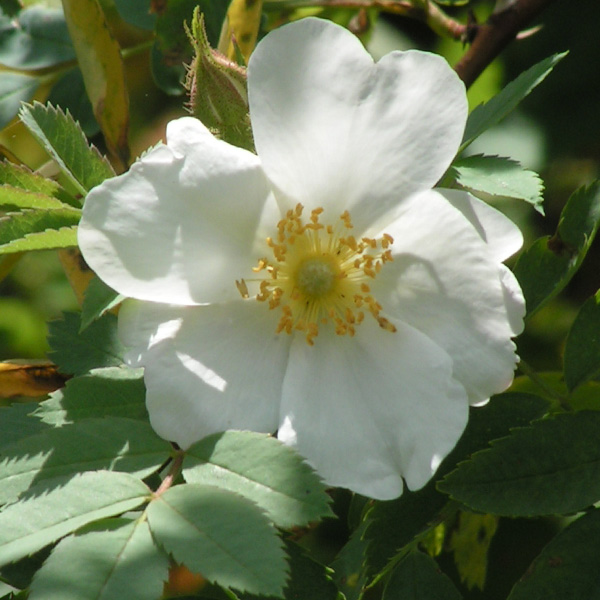 Rosa fedtshenkoana - White Species Rose