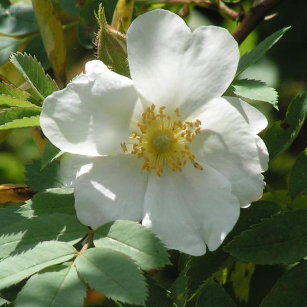 Rosa fedtshenkoana - White Species Rose