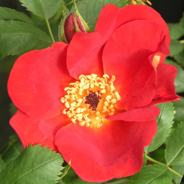 Rosa Foetida Bicolor - Red Species Rose