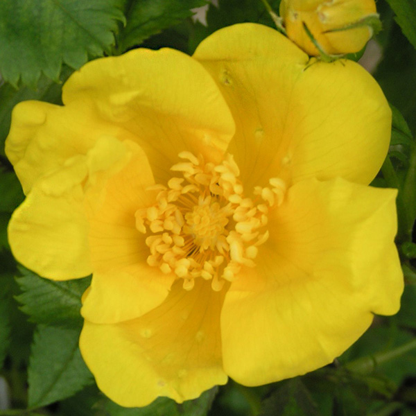 Rosa Foetida - Yellow Species Rose
