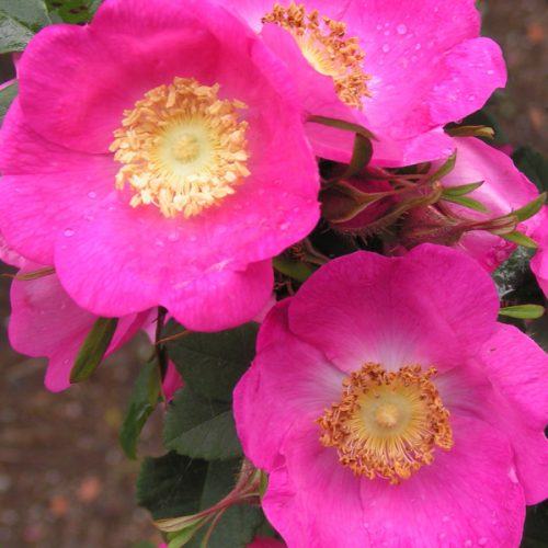 Rosa Forrestiana - Pink Species Rose