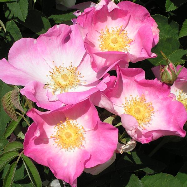 Rosa Gallica - Pink Gallica Rose