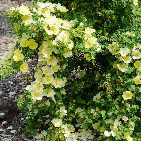 Rosa hugonis - Yellow Species Rose