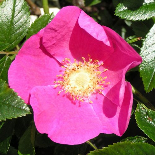 Rosa kochiana - Pink Species Rose