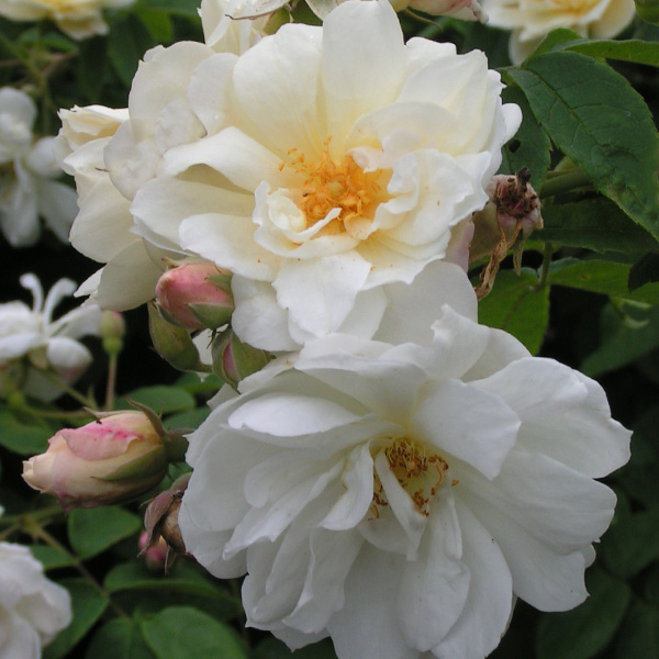 Rosa moschata 'Autumnalis' - White Species Rose