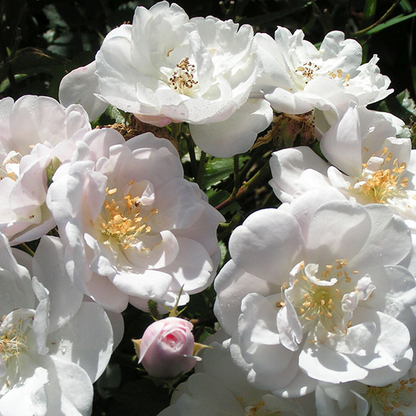 Rosa Moschata Nastarana - White Species Rose