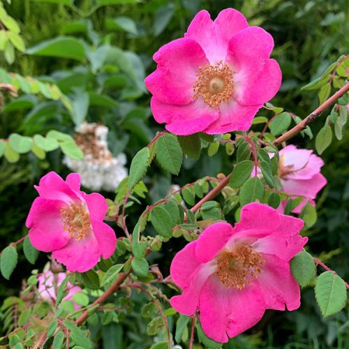 Rosa Moyesii 'Sealing Wax' has single deep pink blooms.