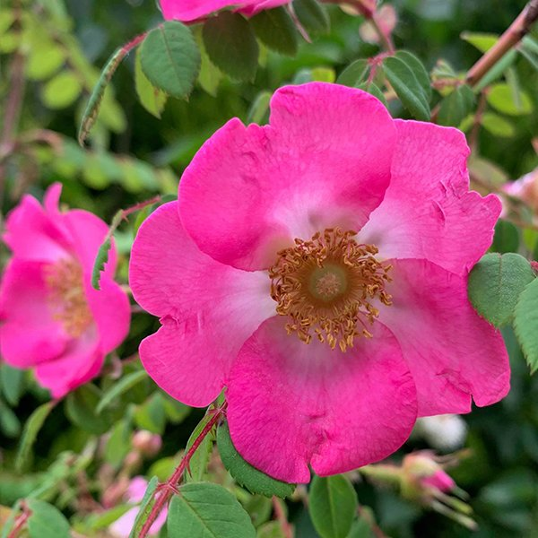 Rosa Moyesii 'Sealing Wax', beautiful species rose.
