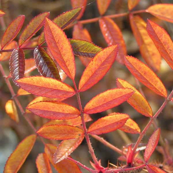 Rosa nitida - Autumn Foliage