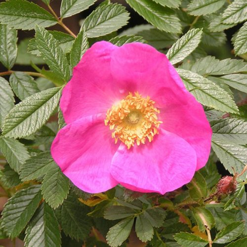 Rosa nitida - Pink Species Rose