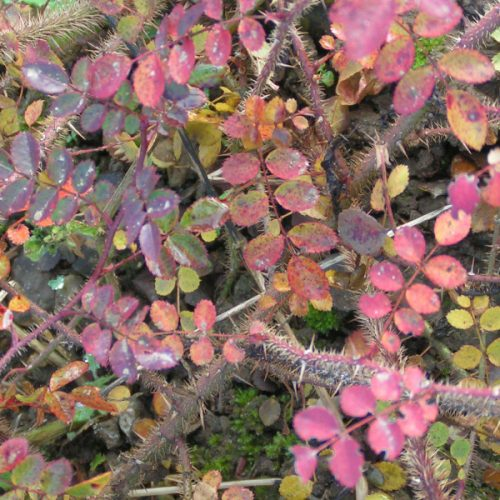 Rosa persetosa - Autumn Colour