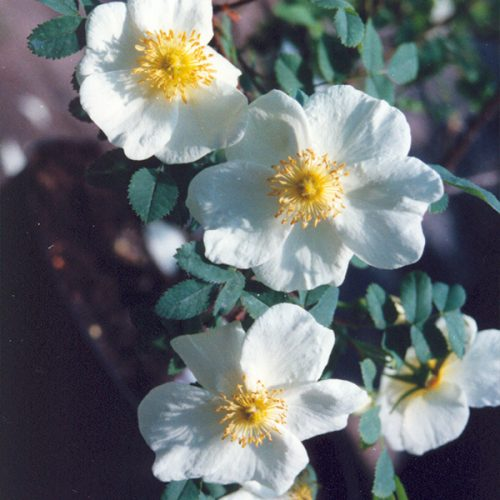 Rosa pimpinellifolia - White Species Rose