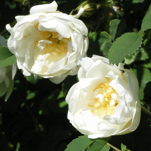 Rosa pimpinellifolia 'Double White' - White Species Rose