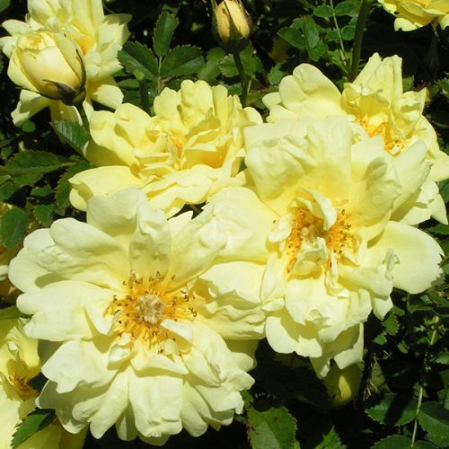 Rosa pimpinellifolia 'Double Yellow' - Yellow Species Rose