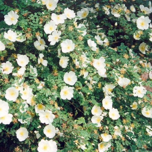 Rosa pimpinellifolia 'Dunwich Rose' - White Species Rose