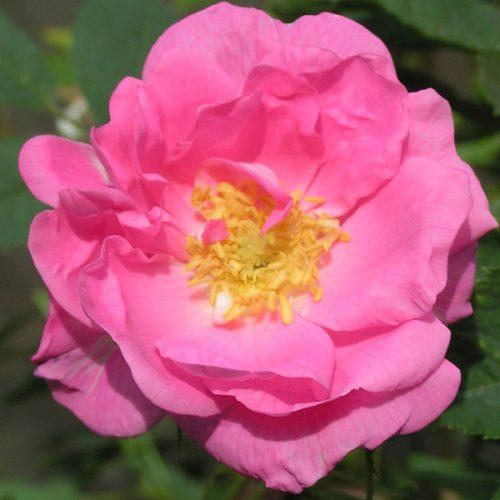 Rosa Pomifera - Pink Species Rose