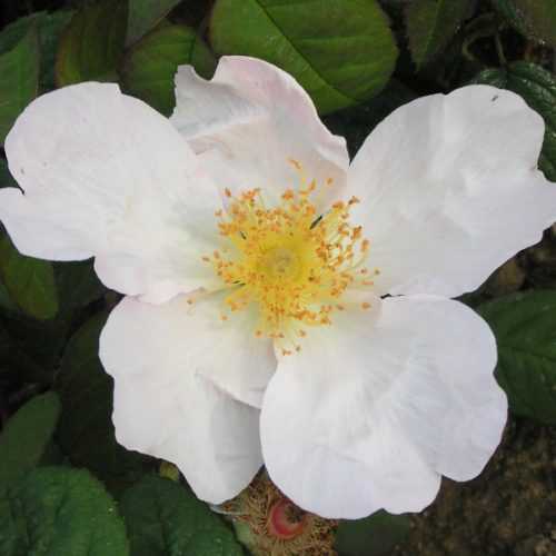 Rosa Richardii - White Species Rose