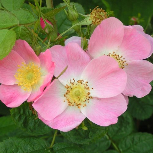 Rosa rubiginosa - Pink Species Rose
