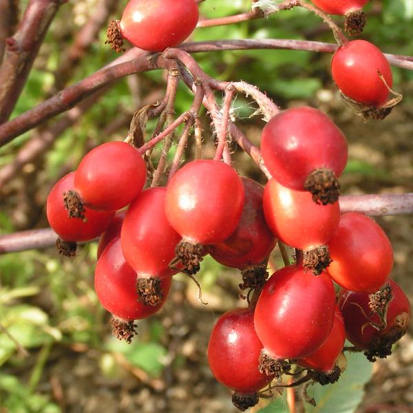 Rosa rubrifolia - Autumn Hips