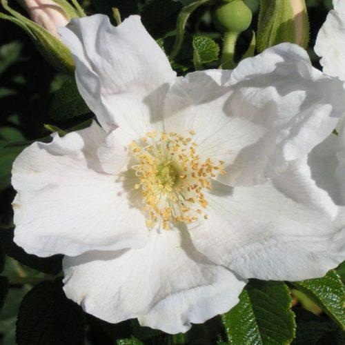 Rosa Rugosa Alba - White Rugosa Rose