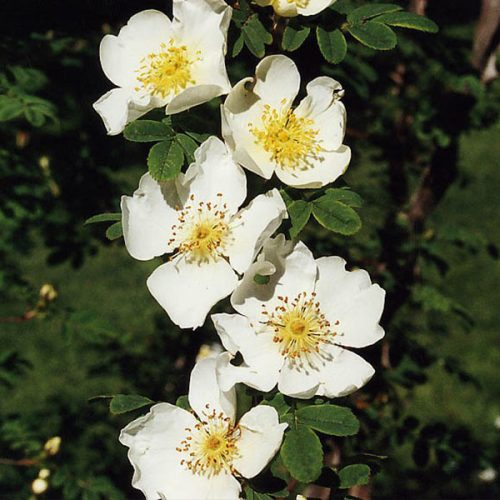Rosa sericea 'Pteracantha' - White Species Rose