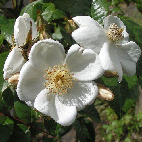 Rosa sinowilsonii - White Rambling Rose