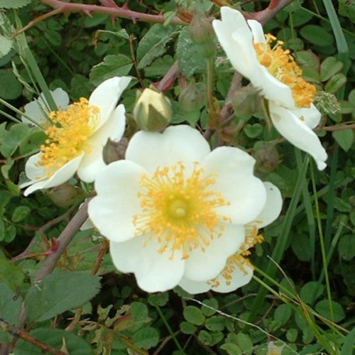 Rosa Soulieana - White Species Rose
