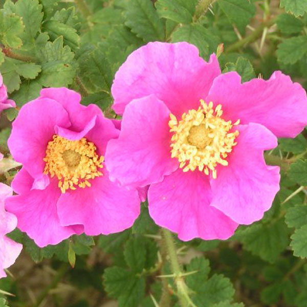 Rosa stellata 'Mirifica' - Pink Species Rose