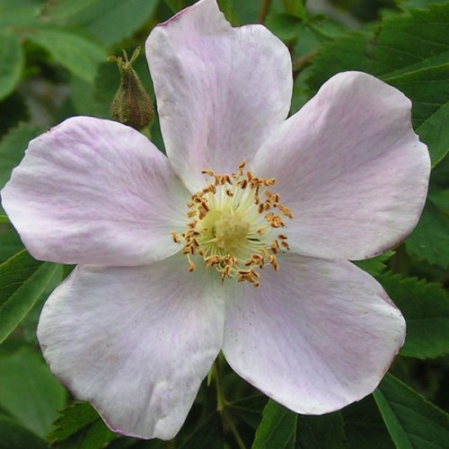 Rosa suffulta - Pink Species Rose
