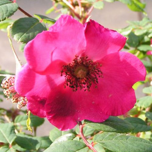 Rosa-Sweginzowii-Macrocarpa - Species Rose